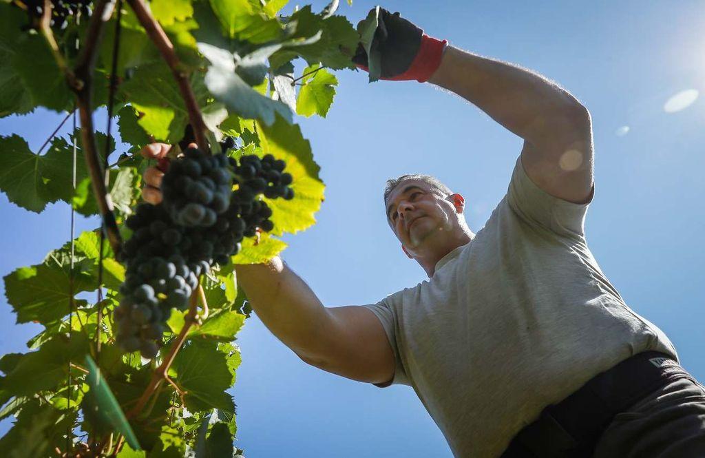 Horváth Gábor ellenőrzi a szőlőt